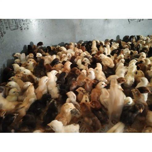 desi-chicks-chicken-500×500-1